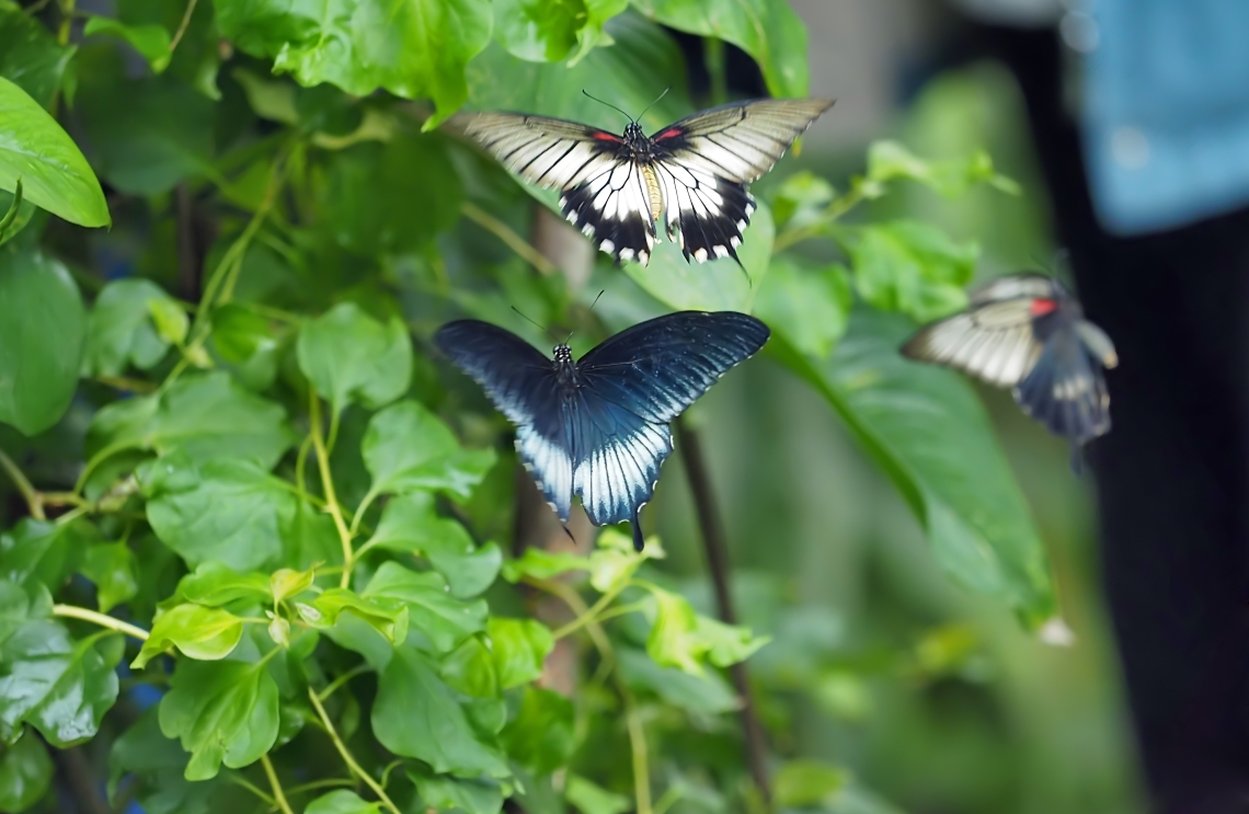 asianswallowtails
