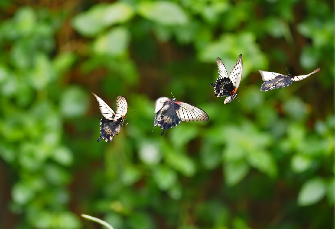SwallowtailInFlight