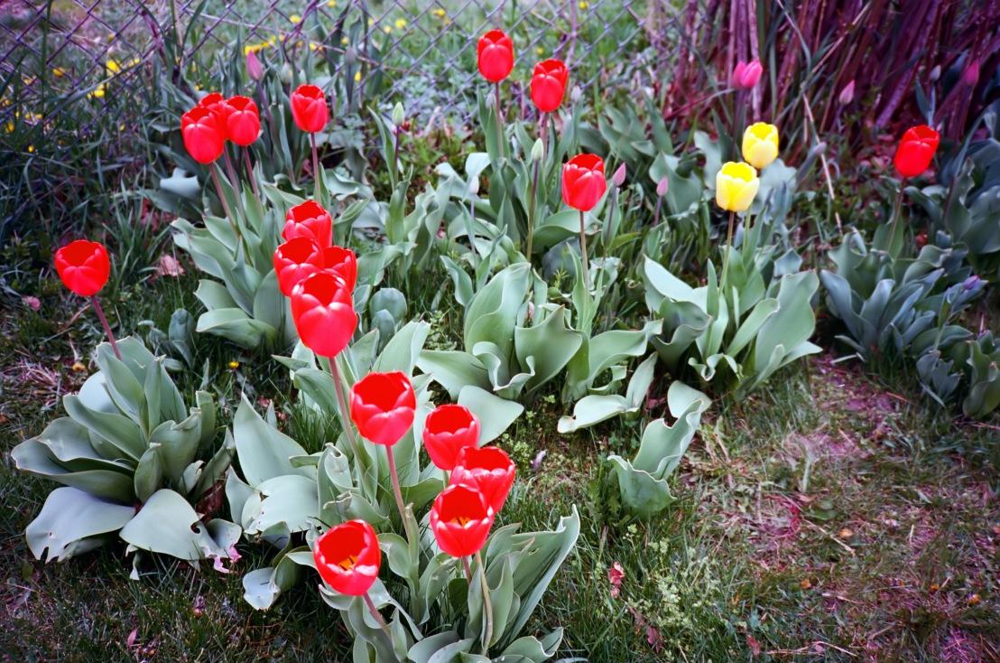 tulipsXA